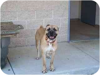 Cane Corso Dog for adoption in New York, New York - Fancy-KY