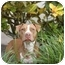 Photo 3 - Pit Bull Terrier Dog for adoption in Boca Raton, Florida - Chocolate