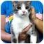 Photo 2 - Domestic Shorthair Cat for adoption in Warren, Michigan - Dorothy