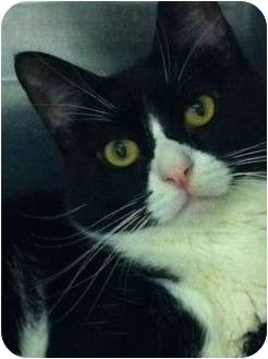 Domestic Shorthair Cat for adoption in Pittstown, New Jersey - Penelope