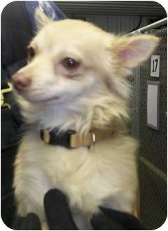 Chihuahua Mix Dog for adoption in Marseilles, Illinois - HeMan