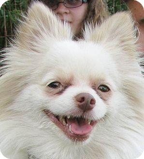 Pomeranian/Maltese Mix Dog for adoption in Chapel Hill, North Carolina - Cody