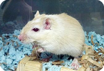 Gerbil for adoption in Lewisville, Texas - Butterscotch