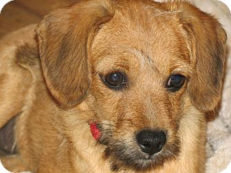 Irish Terrier Mix Puppy for adoption in Williston, Vermont - Pixiewisp