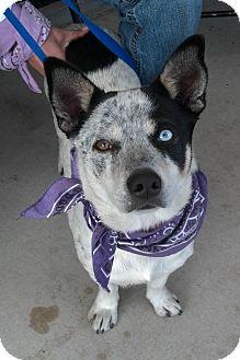 Australian Cattle Dog Mix Dog for adoption in San Angelo, Texas - Hemi