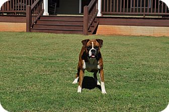 Boxer Dog for adoption in Wilmington, Delaware - Max