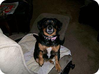 Corgi/Dachshund Mix Dog for adoption in Richmond, Virginia - Baby  (Courtesy Posting)
