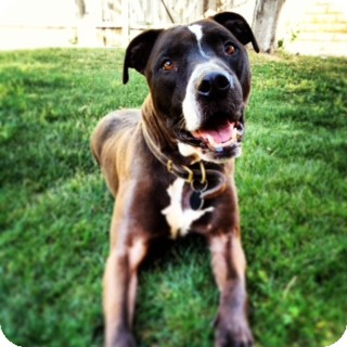 Pit Bull Terrier Mix Dog for adoption in Mission Viejo, California - Brutus - Courtesy Post