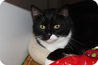 Domestic Shorthair Cat for adoption in St. Petersburg, Florida - Dominette