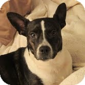 Boston Terrier Mix Dog for adoption in North Augusta, South Carolina - PAMMY