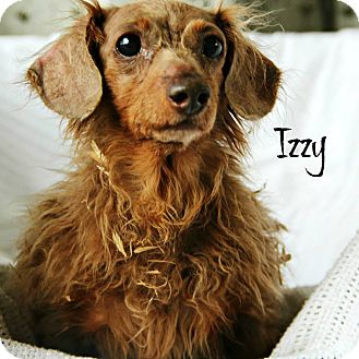 Dachshund Mix Dog for adoption in Oak Ridge, New Jersey - Izzy-LONGHAIR