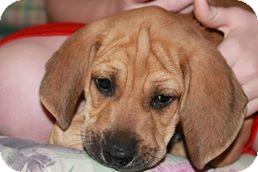 Plott Hound/Bloodhound Mix Puppy for adoption in Franklin, Virginia - Toby