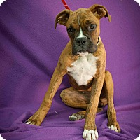 Adopt A Pet :: ChaCha - Broomfield, CO