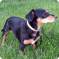 Adopt A Pet :: Duchess - Toronto, ON