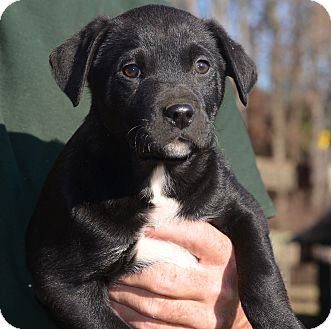Labrador Retriever Mix Puppy for adoption in Woodlyn, Pennsylvania - Traybert