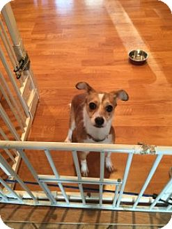 Chihuahua Mix Puppy for adoption in San Francisco, California - Tulla
