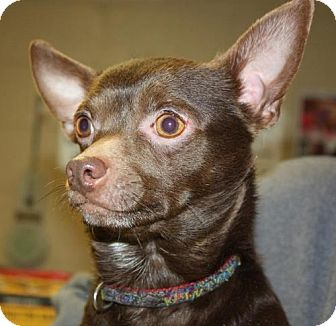 Chihuahua Dog for adoption in Cottageville, West Virginia - Tramp
