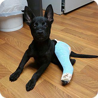 Shepherd (Unknown Type) Mix Puppy for adoption in Lisbon, Ohio - Ace-Adoption Pending!