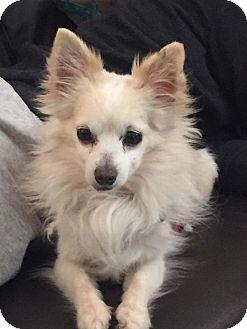 Pomeranian Mix Dog for adoption in Las Vegas, Nevada - Donner
