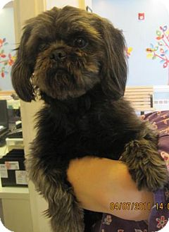 Shih Tzu/Lhasa Apso Mix Dog for adoption in Rockville, Maryland - Avery