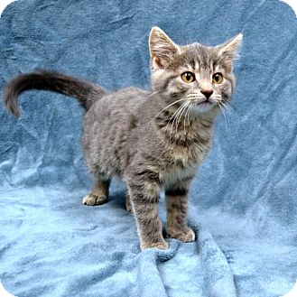 Domestic Shorthair Kitten for adoption in Wheaton, Illinois - Annie