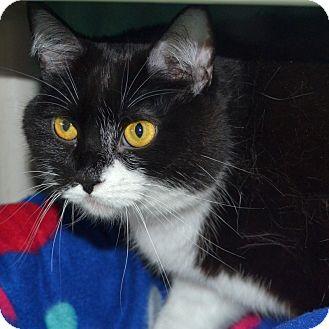 Domestic Shorthair Cat for adoption in Wheaton, Illinois - Adele