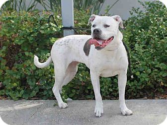 American Bulldog Mix Dog for adoption in Beverly Hills, California - Maggie