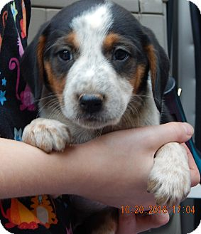 Beagle/English Shepherd Mix Puppy for adoption in West Sand Lake, New York - Zorro (5 lb) Video!