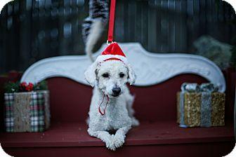 Maltese/Poodle (Miniature) Mix Dog for adoption in Auburn, California - Peter cotton tail