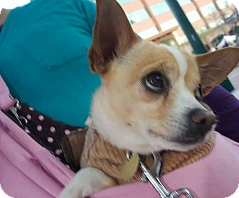 Chihuahua Mix Dog for adoption in Mesa, Arizona - Oliver
