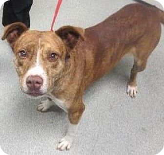 Pit Bull Terrier/Terrier (Unknown Type, Medium) Mix Dog for adoption in Lincolnton, North Carolina - Red
