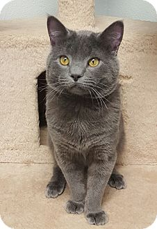 British Shorthair Cat for adoption in Frazier Park, California - Scooter