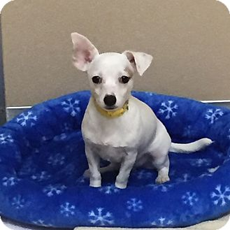 Chihuahua Mix Puppy for adoption in Naperville, Illinois - Romeo
