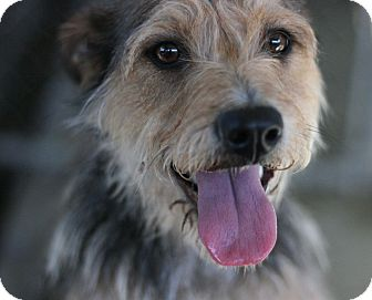 Airedale Terrier Mix Dog for adoption in Canoga Park, California - Lucy