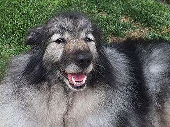 Keeshond Dog for adoption in Southern California, California - GINA