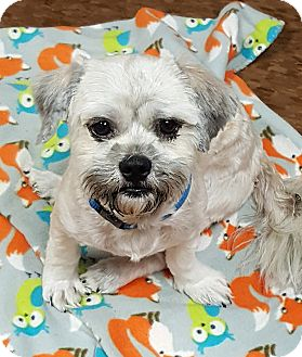 Shih Tzu Mix Dog for adoption in Albion, New York - Rasco