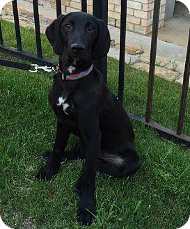 Labrador Retriever Puppy for adoption in Denton, Texas - Moses