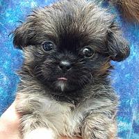 Adopt A Pet :: Lola (1 lb) Video - Sussex, NJ