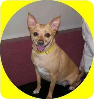Chihuahua/Miniature Pinscher Mix Dog for adoption in Oak Ridge, New Jersey - Xoli