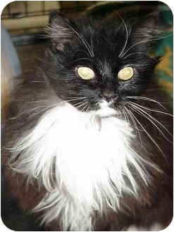 Domestic Longhair Cat for adoption in Chesapeake, Virginia - Cookie