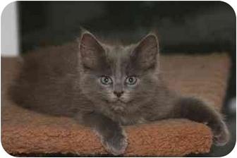 Domestic Mediumhair Kitten for adoption in Cincinnati, Ohio - Apollo