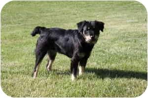 Golden Retriever/Husky Mix Dog for adoption in Staunton, Virginia - Marie-Fee Waived
