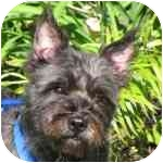 Cairn Terrier Mix Dog for adoption in Eatontown, New Jersey - Jane