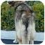 Photo 4 - German Shepherd Dog Mix Dog for adoption in Los Angeles, California - Hudson von Rotlande