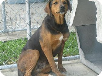 Hound (Unknown Type) Mix Dog for adoption in Manning, South Carolina - Carlie