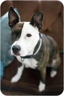 Pit Bull Terrier Dog for adoption in Portland, Oregon - Star
