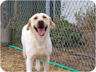Labrador Retriever Dog for adoption in Patterson, California - RAY
