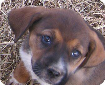Beagle Mix Puppy for adoption in Hillsboro, Ohio - Darlene