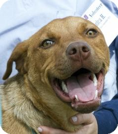 Pit Bull Terrier Mix Dog for adoption in Gainesville, Florida - Marcy