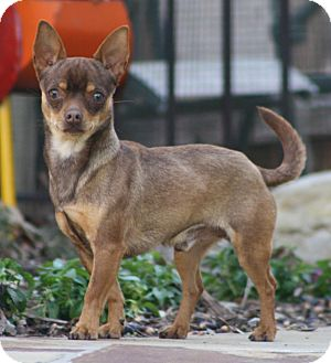 Chihuahua Mix Dog for adoption in Dallas, Texas - Jake